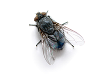 Flies Pest Control West London