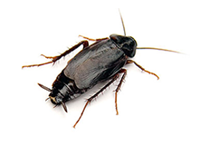 Oriental Cockroach Pest Control West London