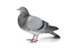 Pigeons Pest Control West London
