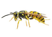 Wasps Pest Control West London