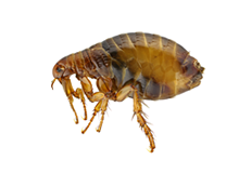 Fleas Pest Control West London