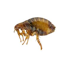 Fleas Pest Control West London