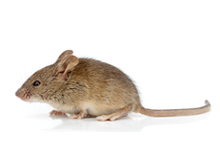 Mice Pest Control West London