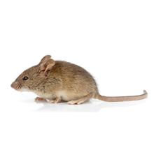 Mice Pest Control West London