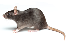 Rats Pest Control West London