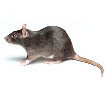Rats Pest Control West London