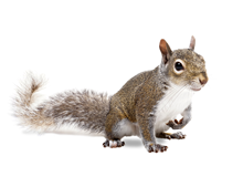 Squirrels Pest Control West London